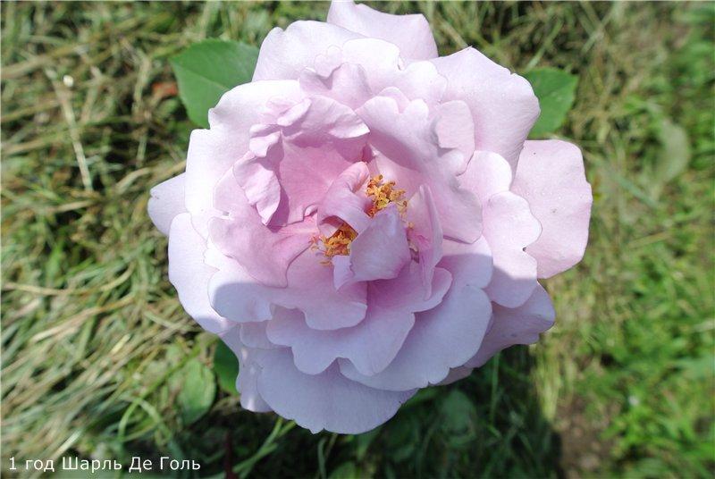 Розы-2013 Cfbb24c5ae28