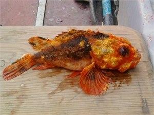 В Черном море поймали кислотного ерша 1fe97a7aa661