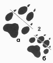 Помогите определить волк или собака D5538294f3ff