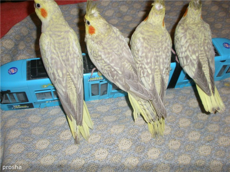 продам птенцов кореллы Украина, Харьков A81bb48bcbed