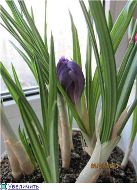 Выгонка луковичных. Тюльпаны, крокусы и др. - Страница 11 A59dd2e01f2ct