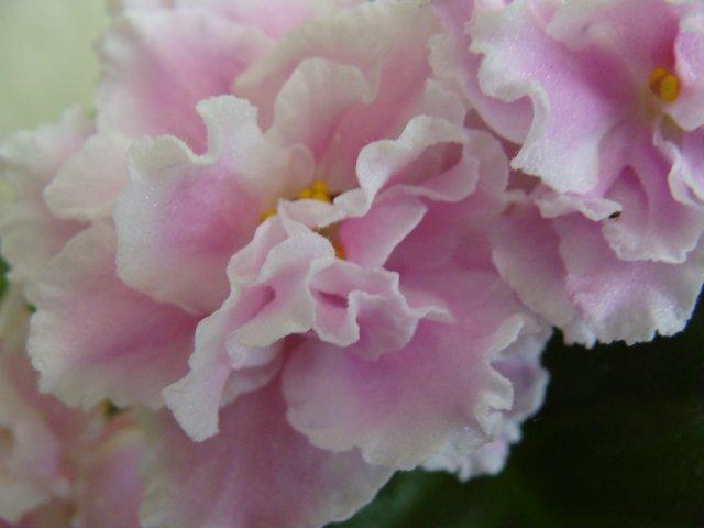 Мои цветочки - Страница 39 E8a6ec2e996d
