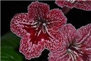 Семена глоксиний и стрептокарпусов продам Db140f3df918t