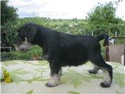 Цвергшнауцера щенки, окрас черный с серебром E648a79cd46dt
