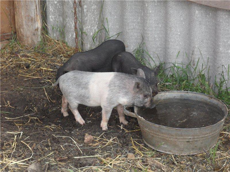 В'єтнамські вислобрюхие свині 1e6f5158a491