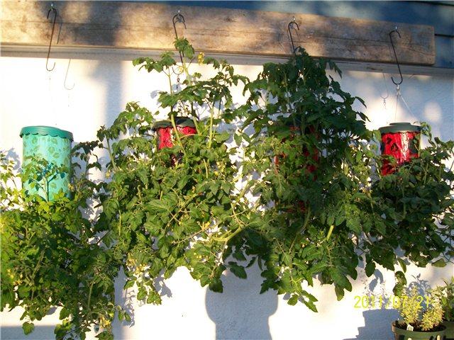 Технология выращивания помидоров (томатов) вниз головой A9e7e7bdd654