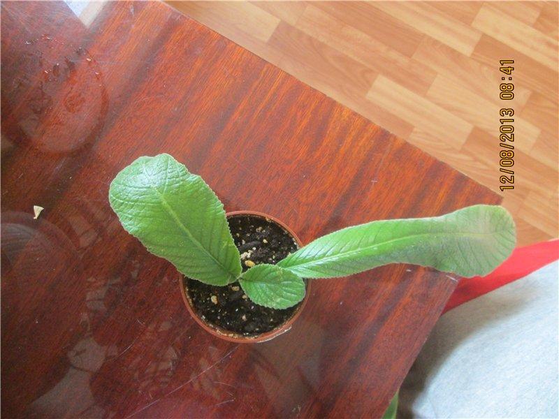 Стрептокарпусы из семян - Страница 4 A574f55f2dc6