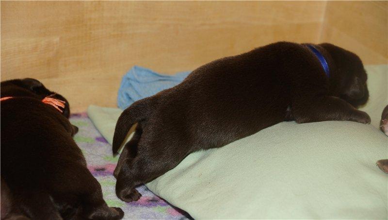 Щоколадные щенки лабрадора-ретривера 25.12.13 (питомник АРТ ГРАНД). 3f687acce791
