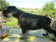 Цвергшнауцера щенки, окрас черный с серебром 689071cbe680t