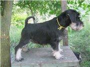 Цвергшнауцера щенки, окрас черный с серебром 10402bae2cfdt