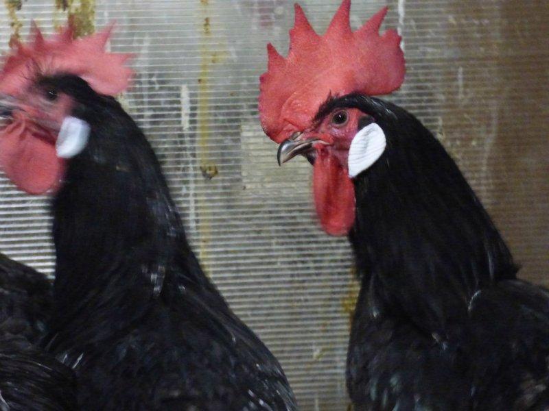 индийский - Продажа куриного инкубационного яйца, породы Барбезье и утиного, породы Индийский бегун /Арлекино/.                                                          А  906777804879