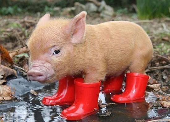 Миниатюрные свинки) - Страница 2 126fa25438e4