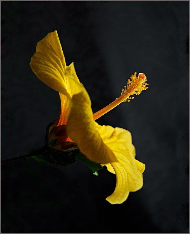 ГИБИСКУСЫ (Hibiscus rosa-sinensis Linn)  31b53ff818a9