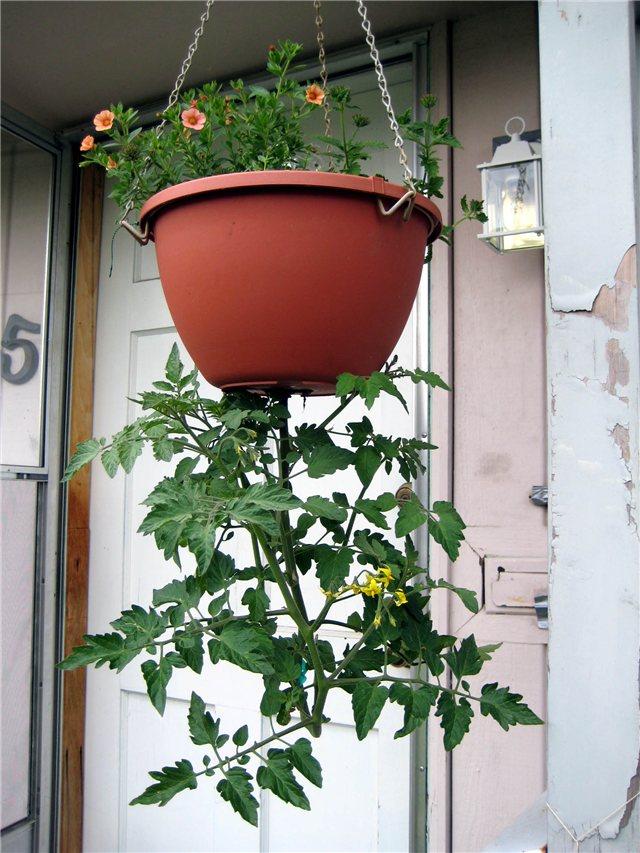 Технология выращивания помидоров (томатов) вниз головой A69b2959be74