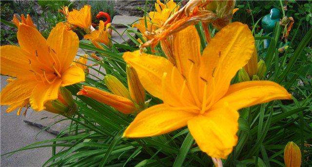 Мои цветулечки - Страница 21 Fc25956db52f