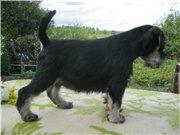 Цвергшнауцера щенки, окрас черный с серебром Da3cdcc058c6t