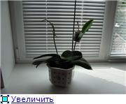 Орхидеи 95c68a407d19t
