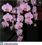 Фаленопсисы гибридные - Страница 2 1c9f40b771e5t