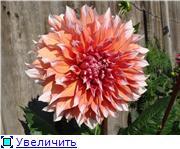 Георгины в цвету 5eafa3bb6bdft
