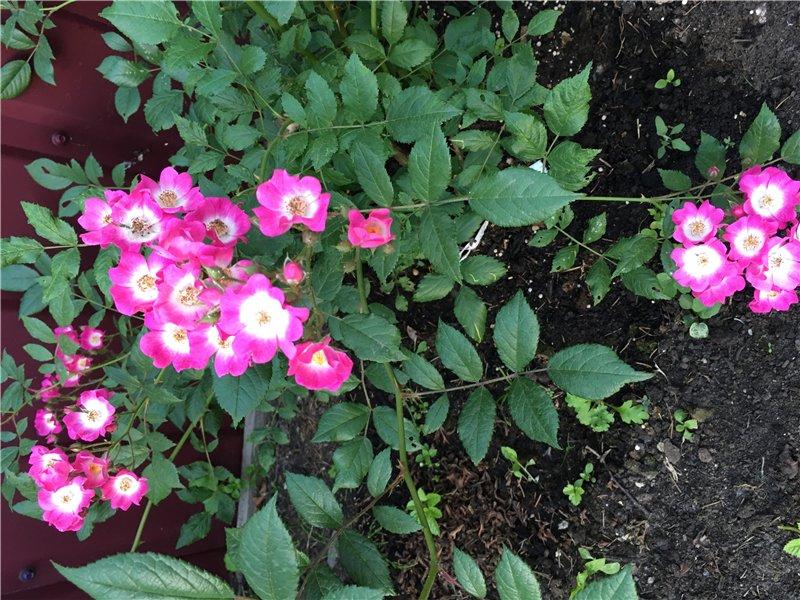 И мои хвастушки-цветушки! - Страница 37 A4c17bc18d32