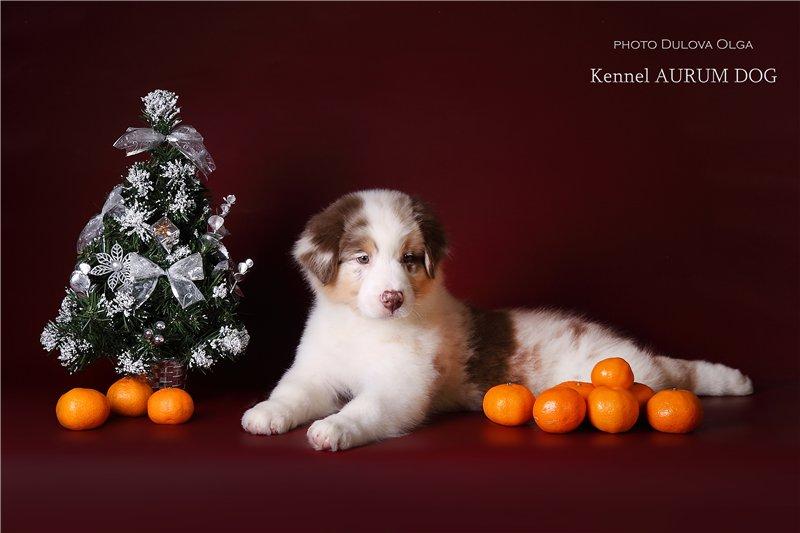 """Питомник """"Aurum Dog"""" - Страница 2 65eca67437f8"""