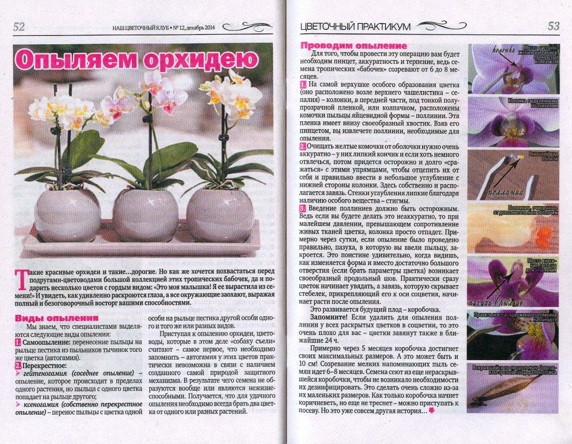 орхидея или фаленопсис 95f55d5f4409