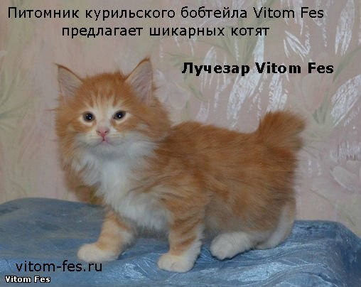 Котята Курильского бобтейла 1429ffac2733