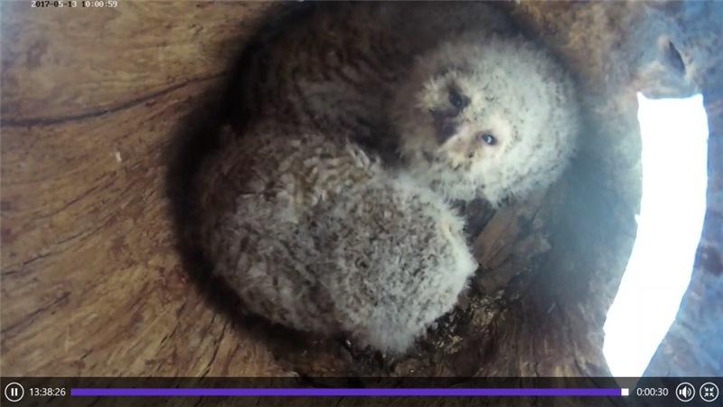 Estonian Tawny Owl Webcam 2017-2018 - Page 2 03e29475b707