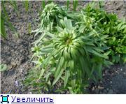 Лилии. Болезни и уход - Страница 3 5f1acabd4f7ft