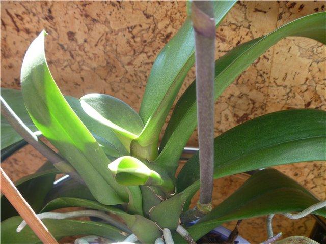 Странности и интересности наших орхидей - Страница 2 5727bb0f39fc