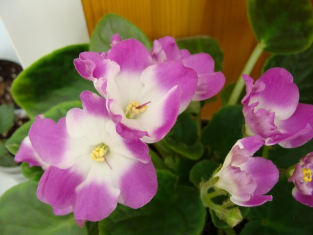 Мои цветочки - Страница 19 72d967deed6b
