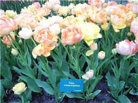 Рай тюльпанов или Кёкнхов - 2012 Bfe8806422cet