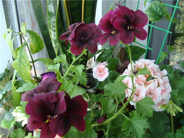 Весеннее  цветение (Хваст от Веры) - Страница 8 D0ca7bfa396a