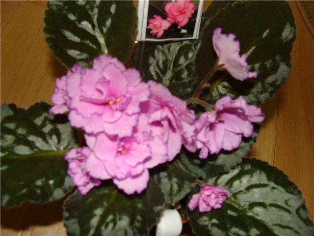 Весеннее  цветение (Хваст от Веры) - Страница 8 2cea7094c037