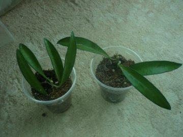 декоротивно-лиственные и красивоцветущие растения - Страница 4 0433d4eb8a19