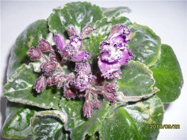 Трудно-растущие и быстро-растущие сорта - Страница 2 860f182357c3