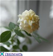 Розы в комнатной культуре - Страница 2 7a871458c3d2t