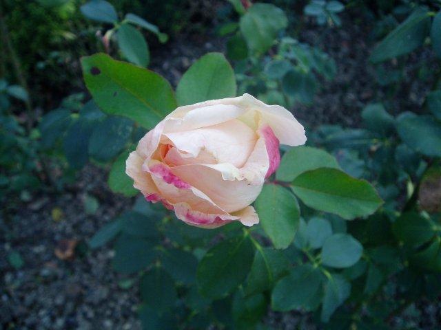 Парад хризантем в Никитском ботаническом саду. Крым  - Страница 2 D76789025e87