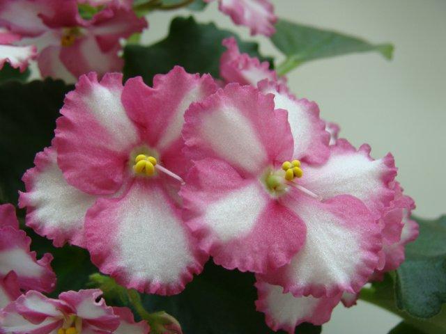 Мои цветочки - Страница 39 64ea146308f4