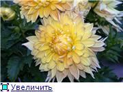 Георгины в цвету 8816e9e23e51t