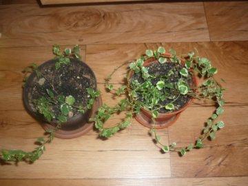декоротивно-лиственные и красивоцветущие растения - Страница 3 6bf2a49a326c