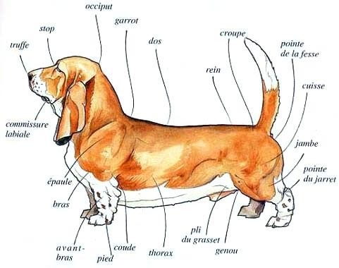 standard du basset-hound 73372067morpho-exterieure-grd-jpg