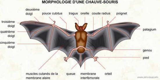 Le coran est-il créationniste ou évolutionniste ? - Page 2 52842091064-20morphologie-20chauve-souris-jpg