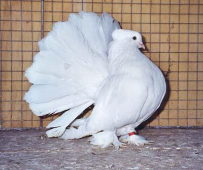 """Pigeon """"disco"""" 27186064indien-blanc-jpg"""