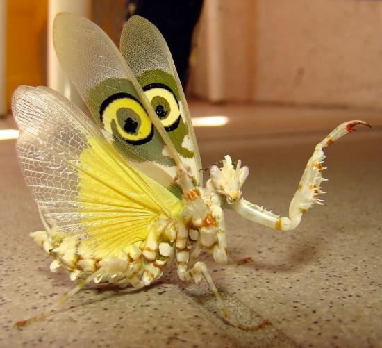 un insecte à découvrir , blucat (4 août) trouvé par ajonc 60848208wahlbergii-drohung-jpg