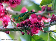 Red-flanked Lorikeet  -Charmosyna 00000009394
