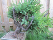 Collected Picea glauca- suggestions please! Late_summer_fun_315