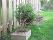 Collected Picea glauca- suggestions please! Late_summer_fun_311