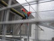 Ara papagaji N3Cd0