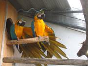 Ara papagaji N3RaS